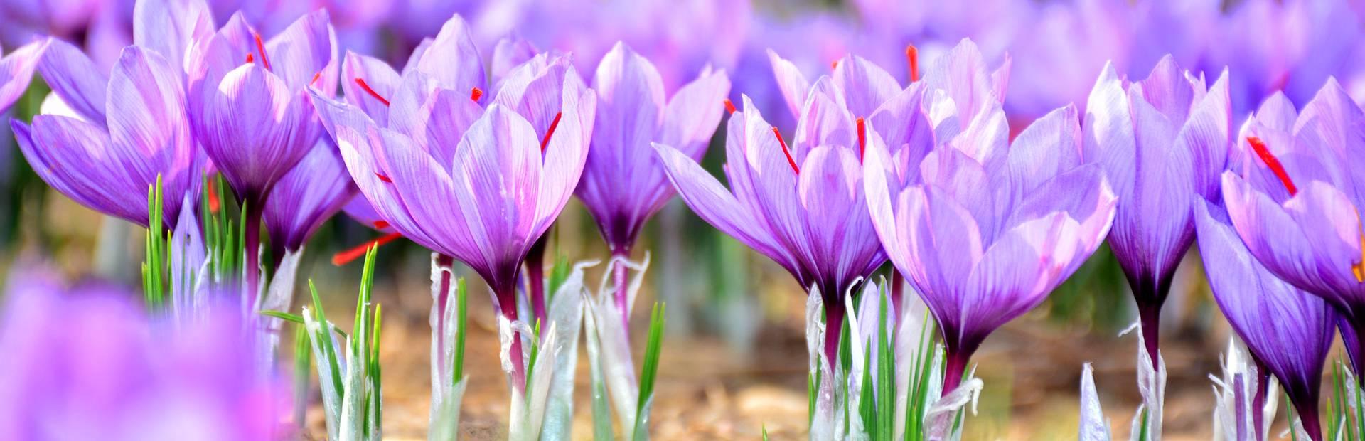 Fleurs de safran en Pays Bigouden © M Amiri