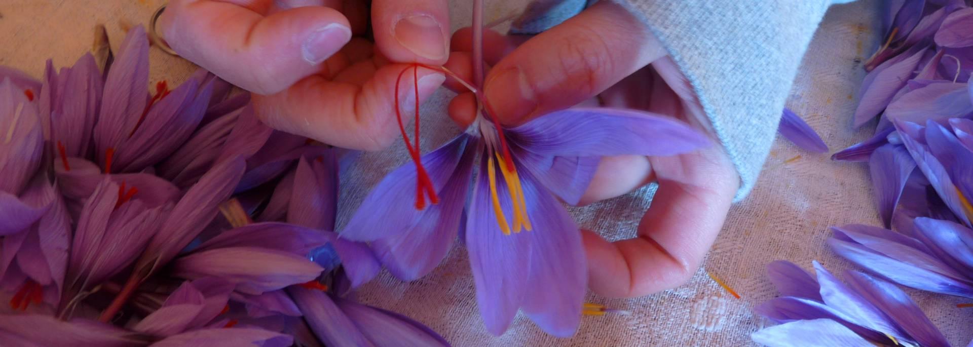 saffron crocuses, Pays Bigouden © G Mazingue