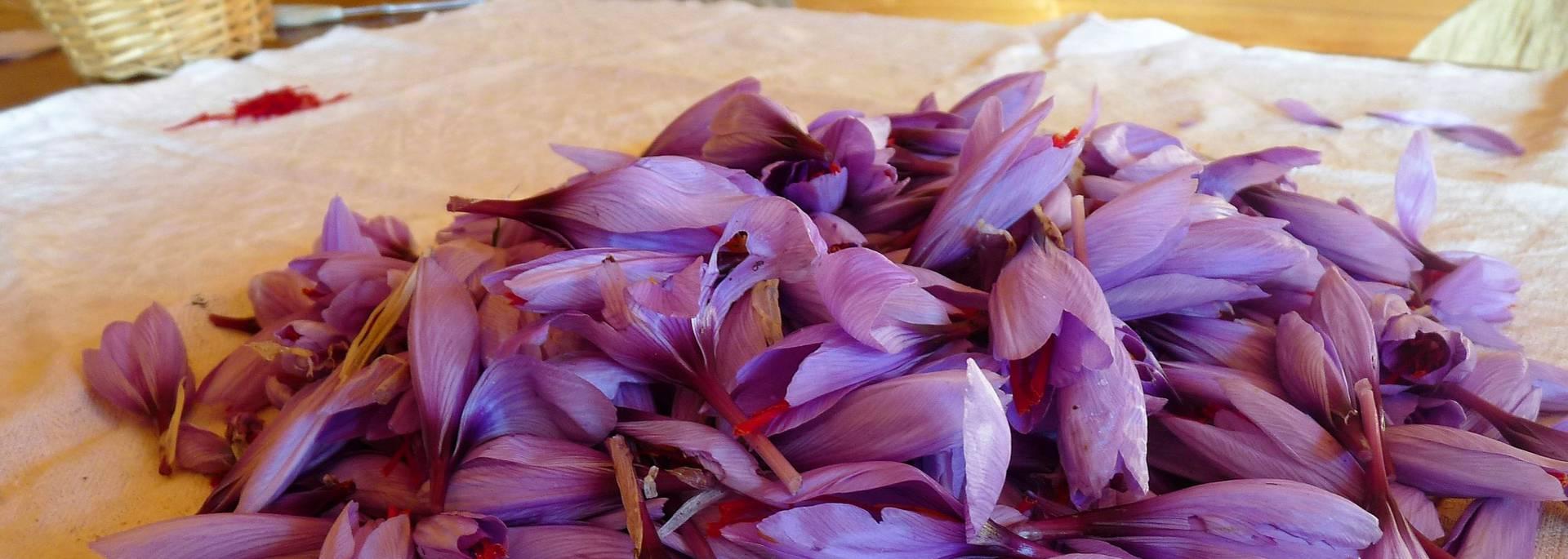 Fleurs de safran en Pays Bigouden © G Mazingue