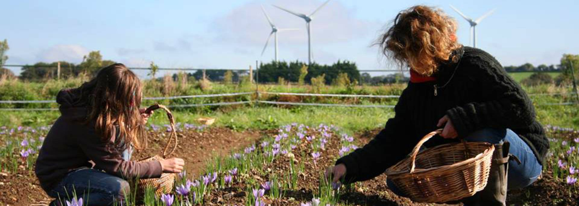 Anne Roche and her daughter harvesting saffron crocuses - Pays Bigouden © A Roche
