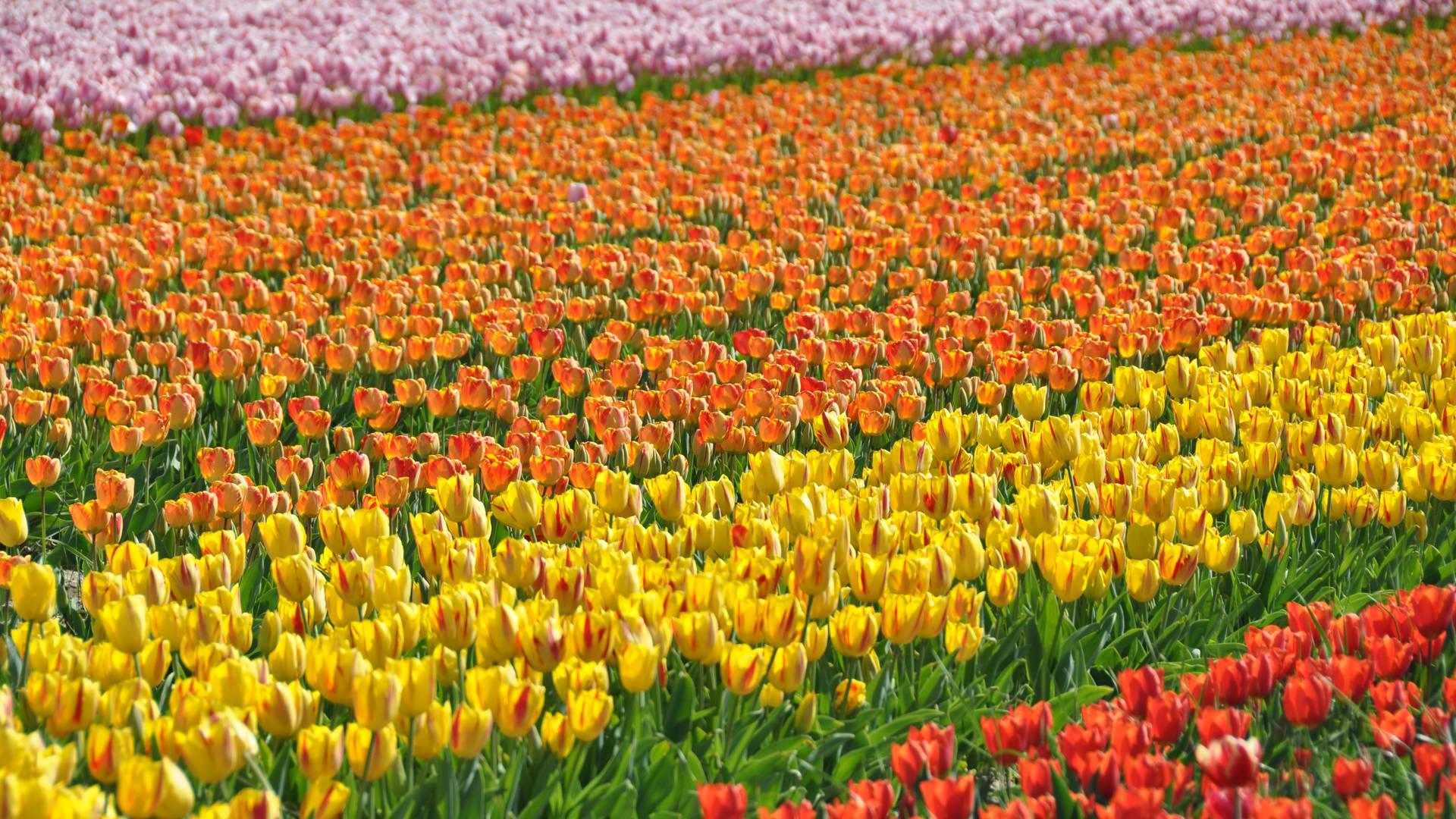 Fête des fleurs - Tulipes
