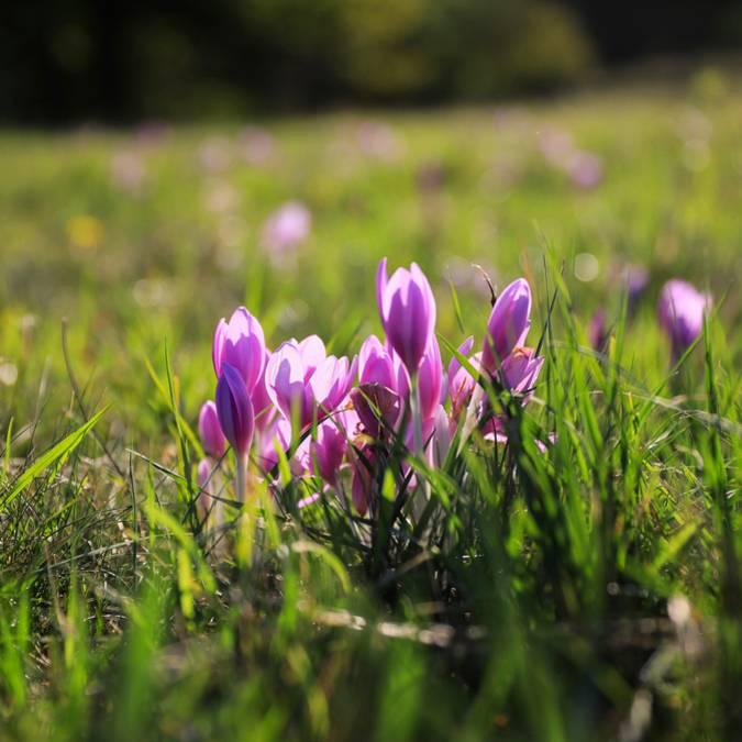 Crocus Stativus - fleur de safran en Pays Bigouden